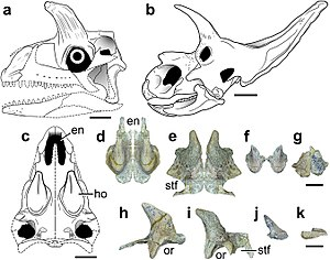 Shringasaurus - Reconstruction of the skull compared to that of Arrhinoceratops