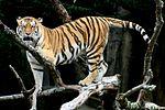 Siberian Tiger sf.jpg