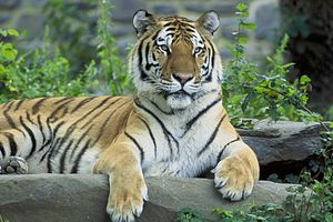 Sikhote-Alin is the home to Amur tigers, the largest felines in the world.