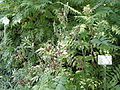 Sibiraea laevigata - Botanical Garden in Kaisaniemi, Helsinki - DSC03455.JPG