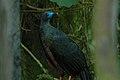 Sickle-winged Guan 2015-06-05 (3) (38501077810).jpg