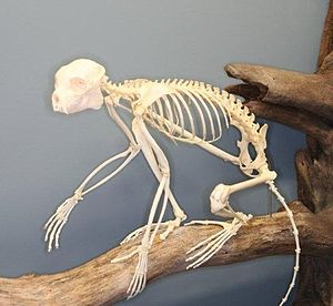 Sifaka - Sifaka skeleton