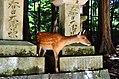 Sika deer in Nara 04.jpg