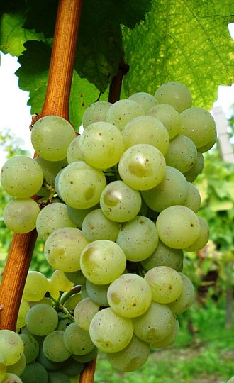 Silvaner - Silvaner growing in Franconia