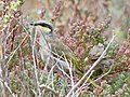 Singing Honeyeater (27593247074).jpg