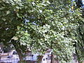Sivan-Park-Nizhal-Tree-Walk-Poovarasu-Indian-Tulip-Tree.JPG