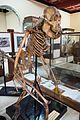 Skeleton of large male orangutan (28202195360).jpg