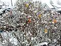 Skořápkovník pod sněhem na Vysočině.jpg