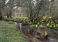 Skunk Cabbage by Lochnabo herald the Spring - geograph.org.uk - 1213742.jpg