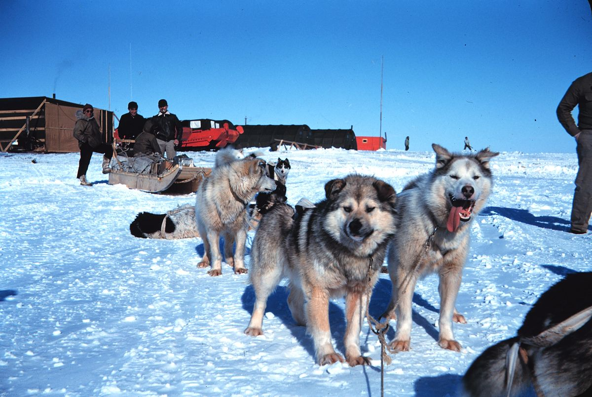 Sled dogs.jpg