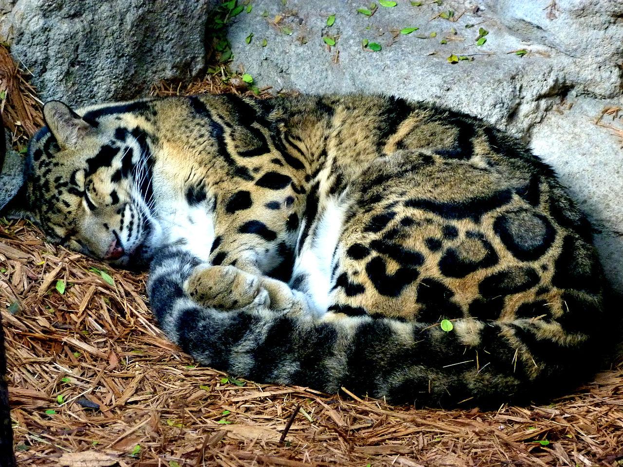 Big Cat Jaguar Facts