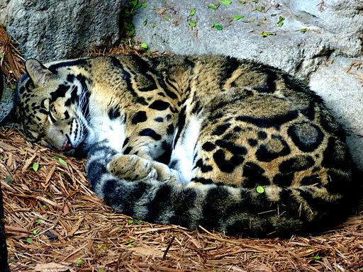 Sleeping Clouded Leopard in San Antonio Zoo