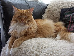 Sleepy 3-year-old Red-Mackerel-tabby-with-white male Maine Coon cat.JPG
