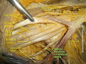 Medial cutaneous nerve of arm - Image: Slide 6bbbb