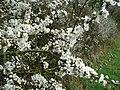 Sloe blossom - geograph.org.uk - 759252.jpg