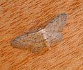 Small Dusty Wave. Idaea seriata - Flickr - gailhampshire (4).jpg