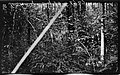 Small pine timber, near Edenton, North Carolina, May 10, 1927. (16051177810).jpg