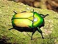 Smargdesthes africana smaragdina 1.JPG