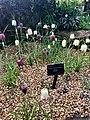 Snake's Head Fritillary garden.jpg