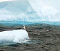 Snow Petrel 44d (3422968183).jpg