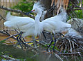 Snow egrets at rookery by Bonnie Gruenberg.jpg