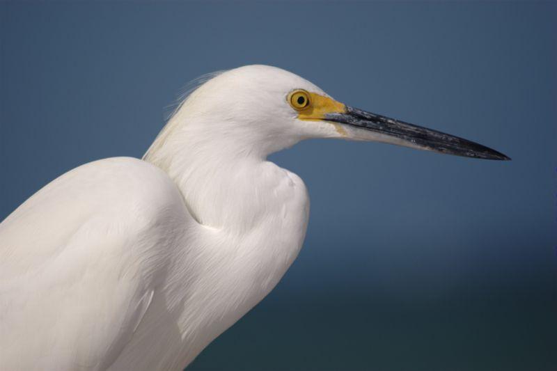 File:Snowy-egret-profile.jpg