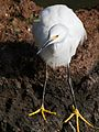 Snowy Egret Descent.jpg