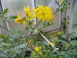 Solanum chilense (Flower)