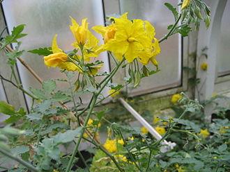 Solanum chilense - Image: Solanum chilense (Flower)