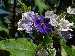 Solanum crinitum