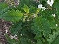 Solanum incompletum.jpg