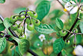 Solanum umalilaense PhytoKeys-016-065-g003B.jpg