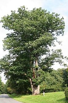 liste des arbres remarquables de belgique wikimonde. Black Bedroom Furniture Sets. Home Design Ideas