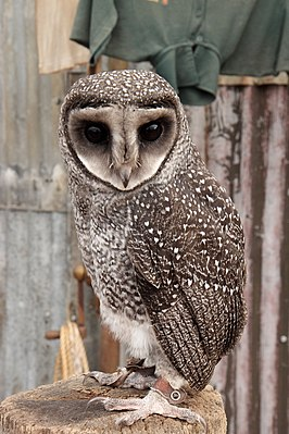 Sooty Owl at Caversham Wildlife Park.jpg