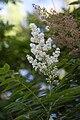 Sorbaria sorbifolia - fleurs-2.jpg