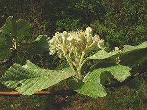 Whitebeam - Common Whitebeam flowers