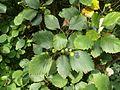 Sorbus cordigastensis 220816b.jpg