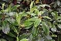 Spathiphyllum friedrichsthalii 1zz.jpg