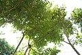 Spathodea campanulata 3zz.jpg