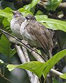 Spectacled Bulbul (Pycnonotus erythropthalmos).jpg