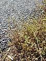 Spergularia marina sl10.jpg