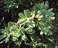 Sphaeranthus indicus 14.JPG