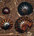 Sphaeromimus musicus morphs.jpg