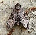 Sphingidae. Sphinginae.Psilogramma menephron - Flickr - gailhampshire.jpg