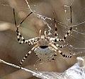 Spider Argiope Lobata (3822758488).jpg
