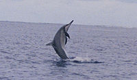 Spinner Dolphin at midway.jpg