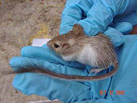 Spiny Pocket Mouse.jpg