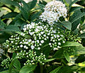 Spiraea albiflora4.jpg