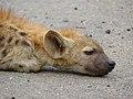 Spotted Hyaena (Crocuta crocuta) juvenile sleeping (13780032844).jpg