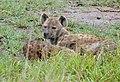 Spotted Hyaenas (Crocuta crocuta) (50757886016).jpg